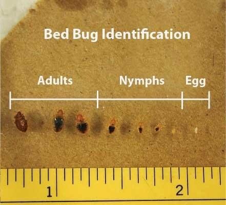 bedwantsen en bedwantsen eitjes herkennen